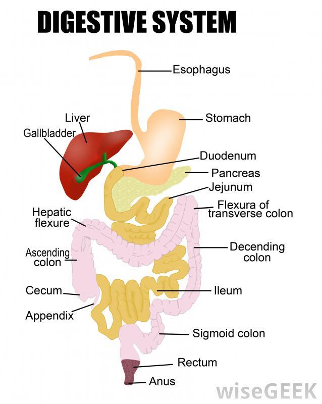 digestive system diagram organs