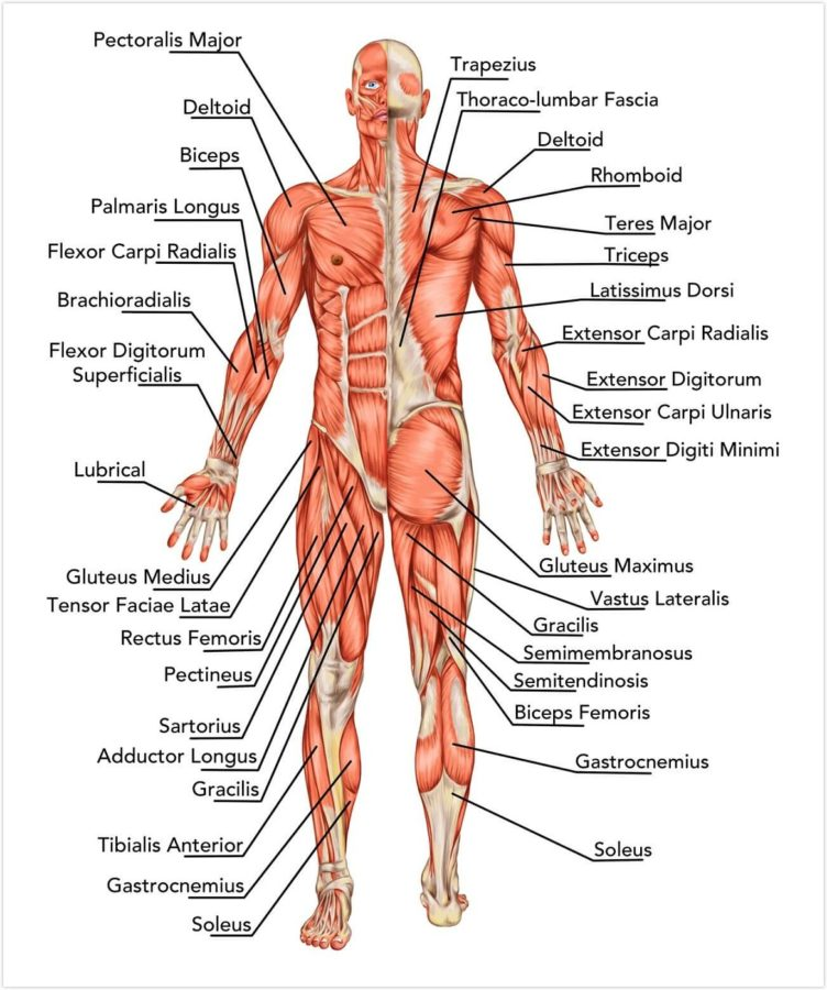 human body diagram back