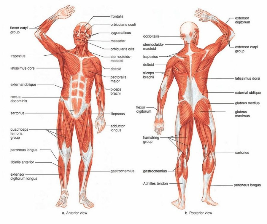 human body diagram worksheet