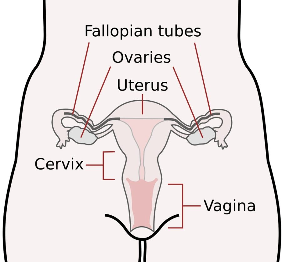 cervix diagram system