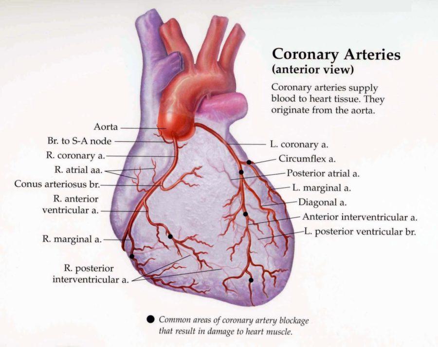 diagram of heart aretery