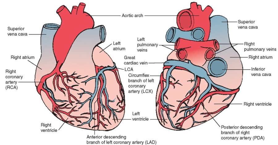 diagram of heart cardiac