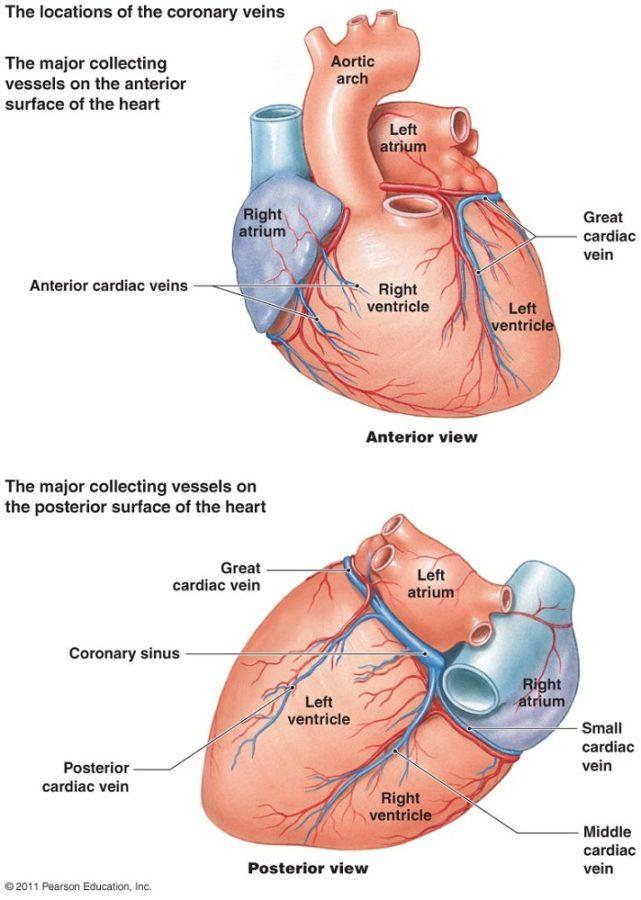 diagram of heart circulation