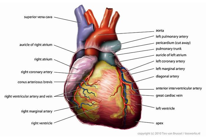 diagram of heart normal
