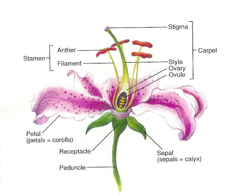 flower diagram lily