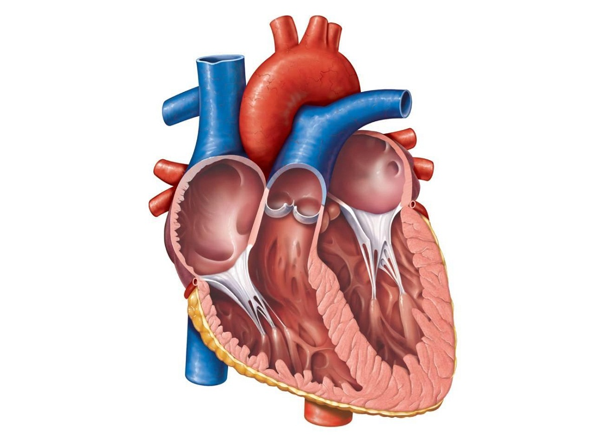 heart diagram blank