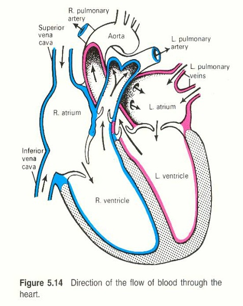 heart diagram simple