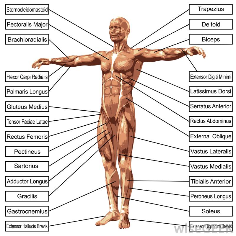 muscle diagram anatomy