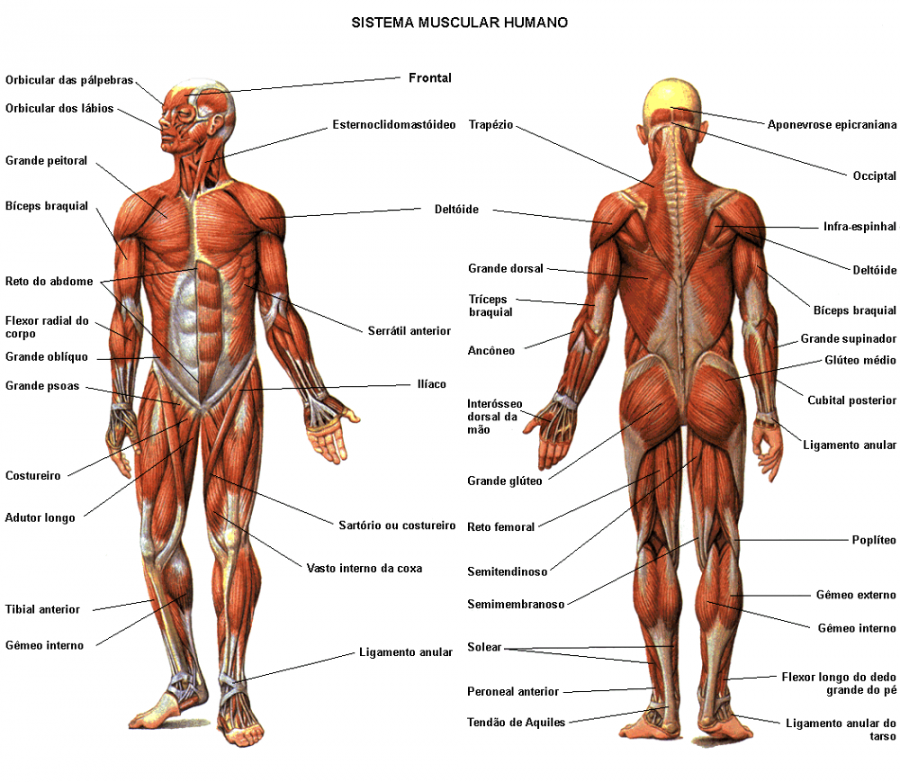 muscle diagram body