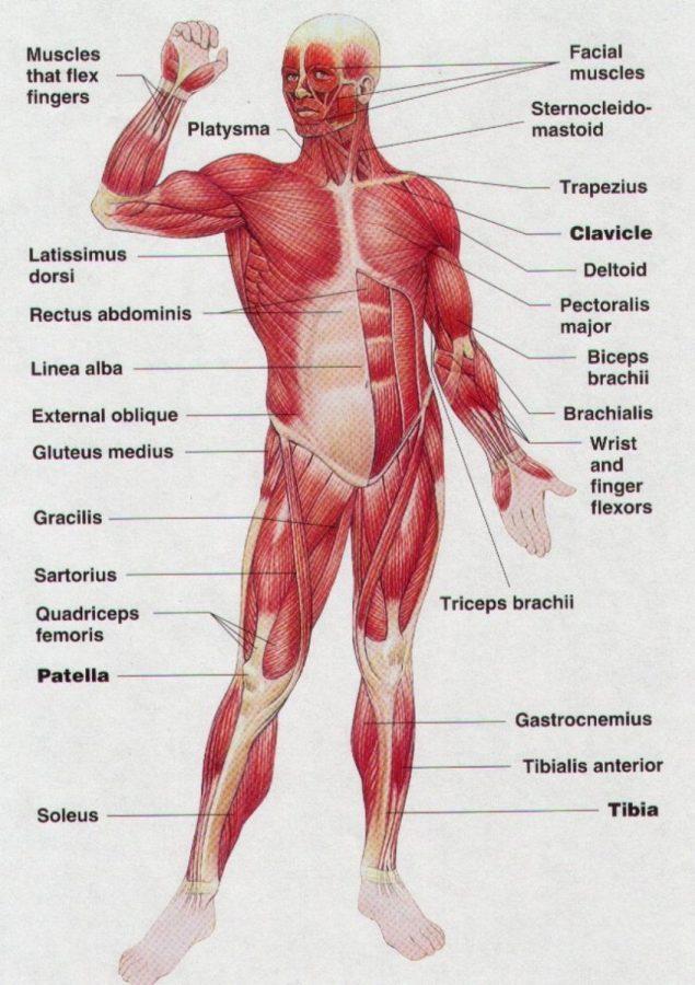 muscle diagram human