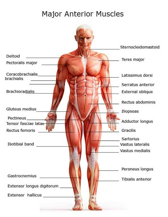 muscle diagram labeled