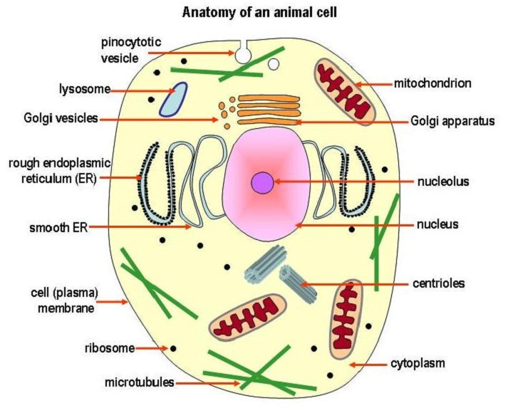 animal cell diagram labels
