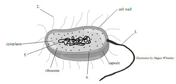 bacteria diagram illustration