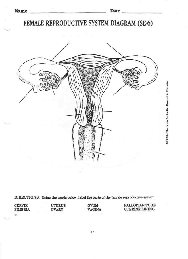 diagram of female reproductive system blank
