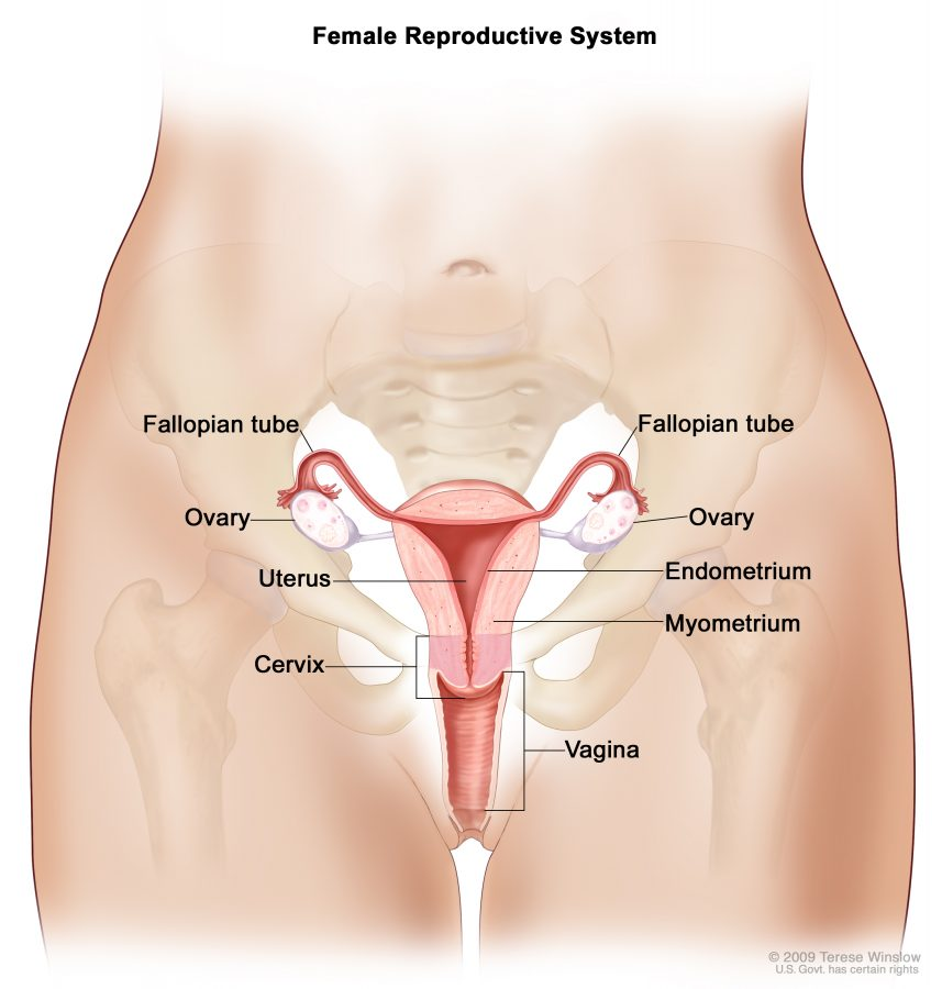 diagram of female reproductive system detail