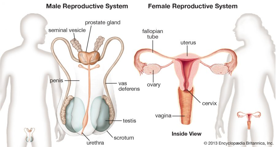 diagram of female reproductive system inside