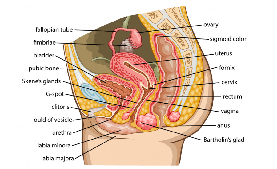 diagram of female reproductive system labeled