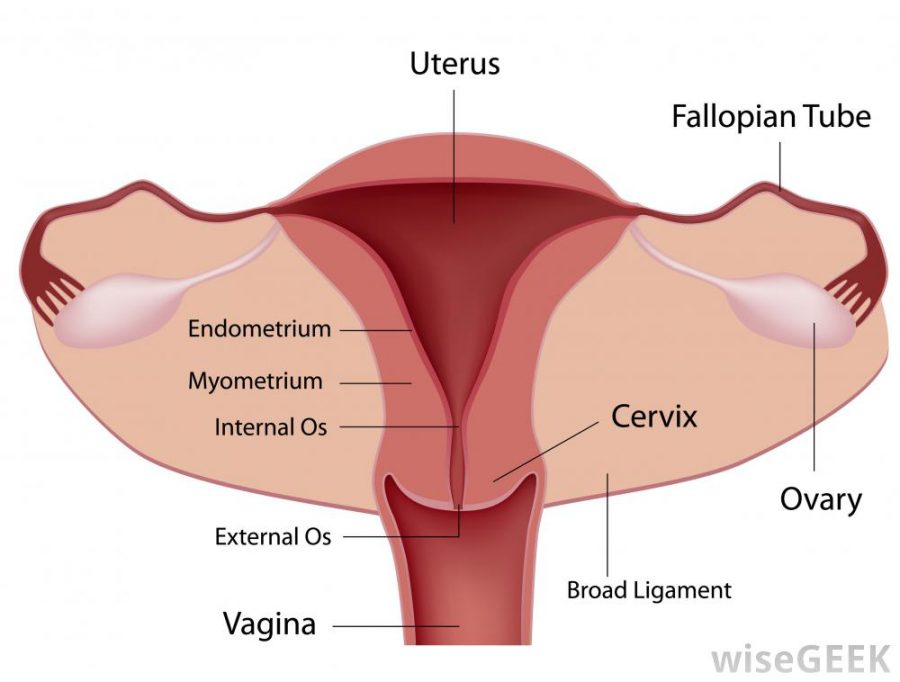 diagram of female reproductive system uterus