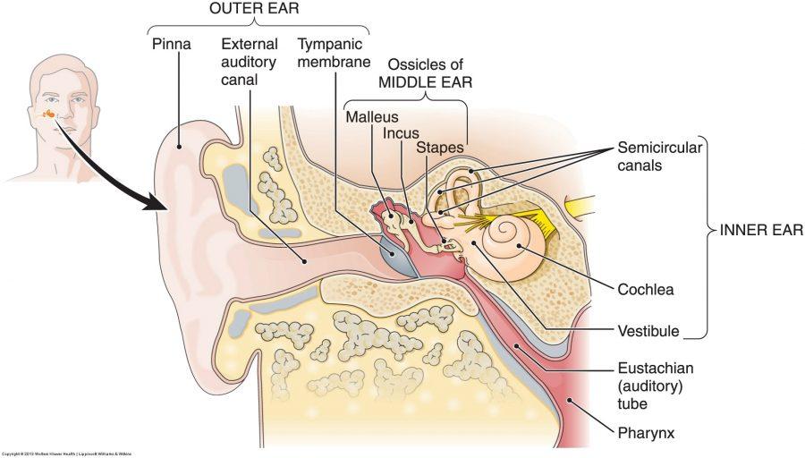 diagram of the ear worksheet