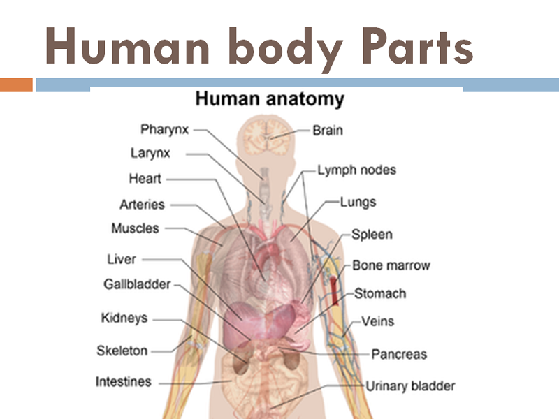 diagram of the human body biology