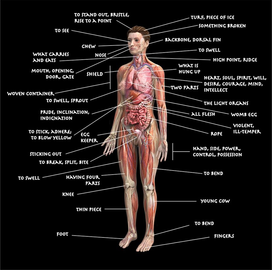 diagram of the human body labeled