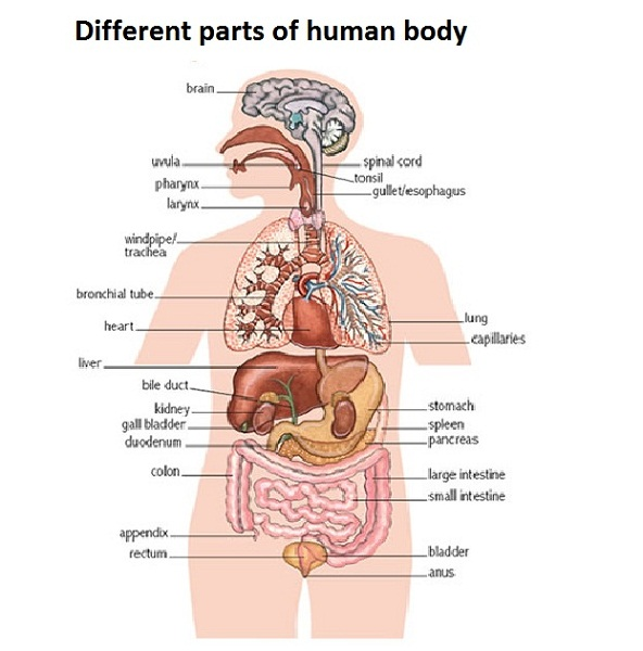 diagram of the human body parts