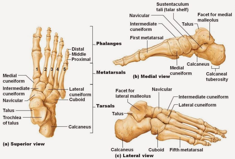 foot diagram bones
