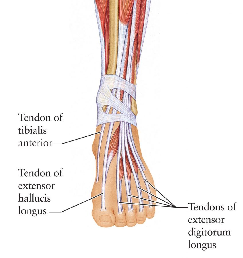 foot diagram dorsal