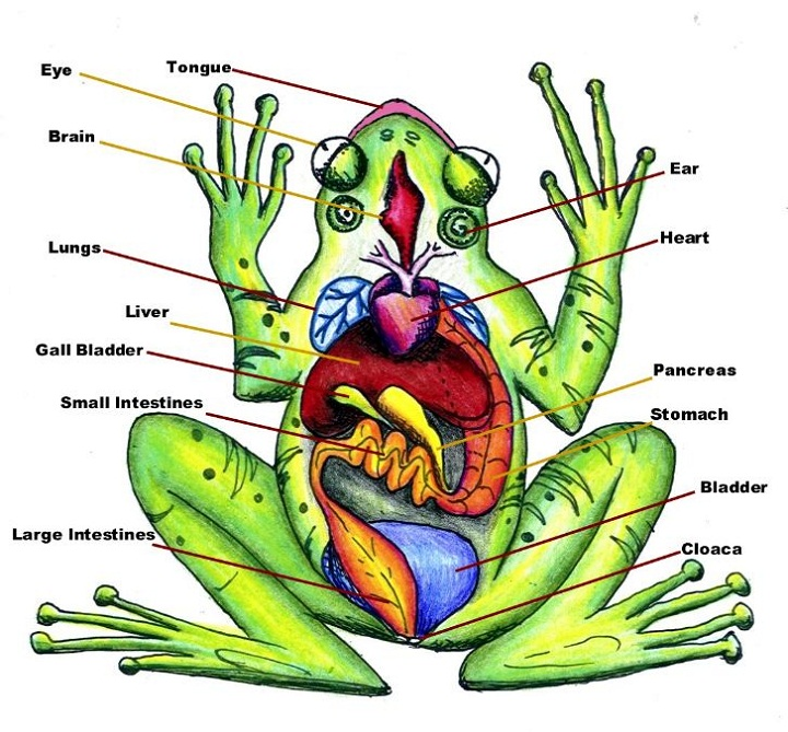 frog diagram organ