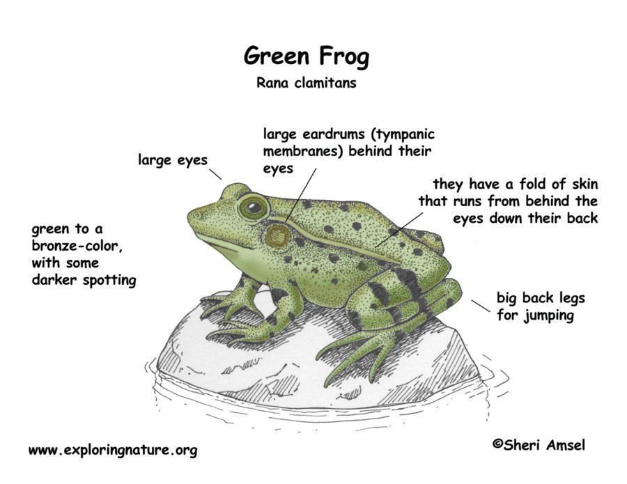 frog diagram specific