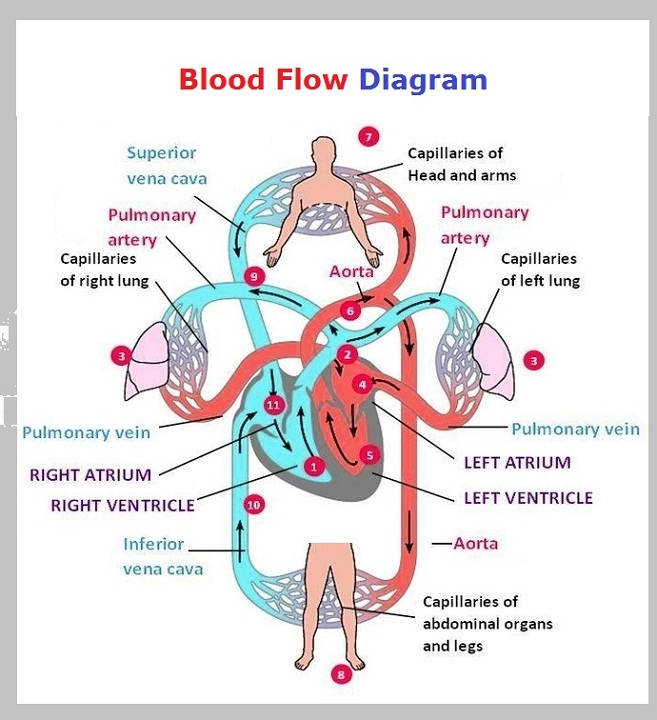 heart blood flow diagram circulatory