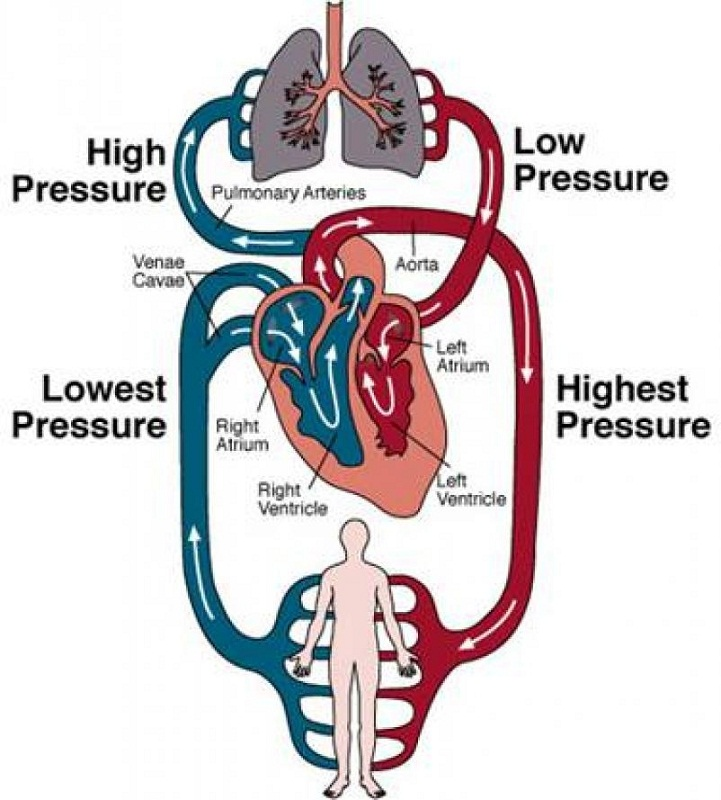 heart blood flow diagram education