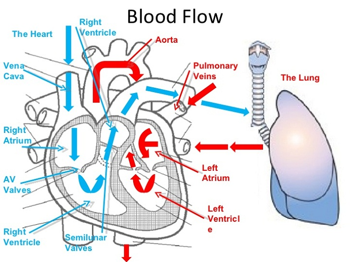 heart blood flow diagram heart