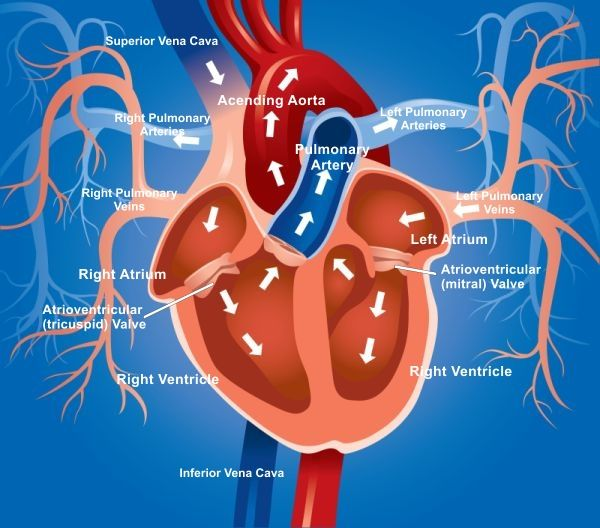 heart blood flow diagram human