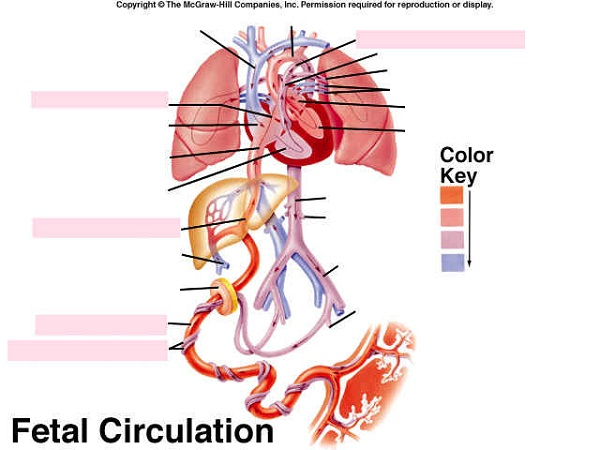 heart blood flow diagram unlabeled