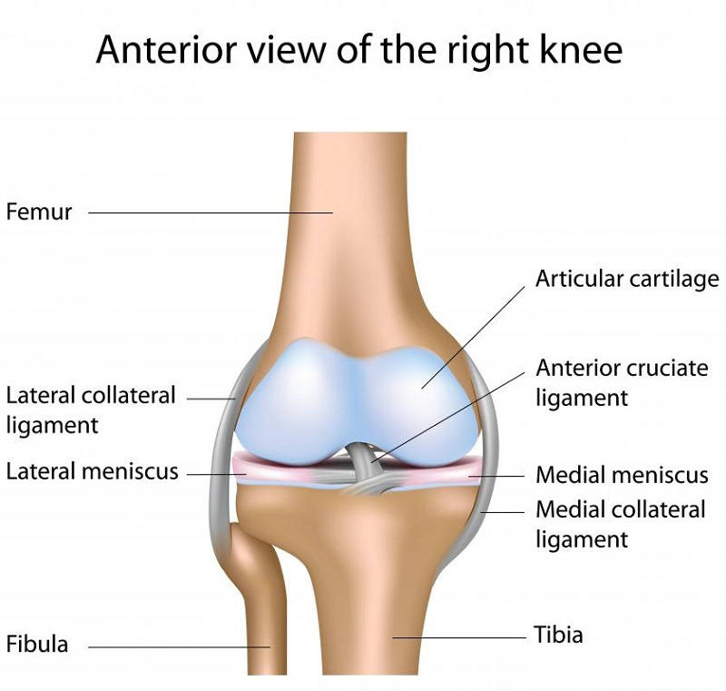 knee diagram human