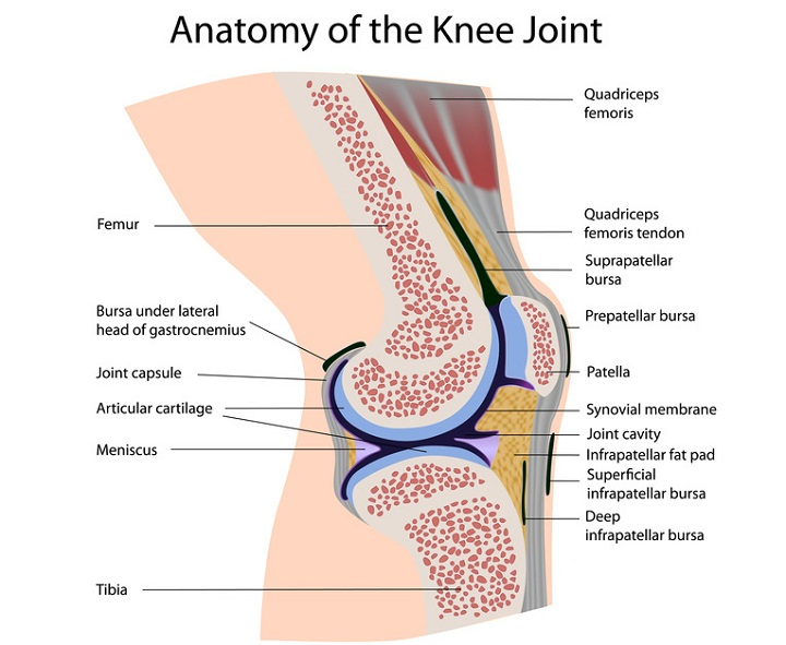 knee diagram joint