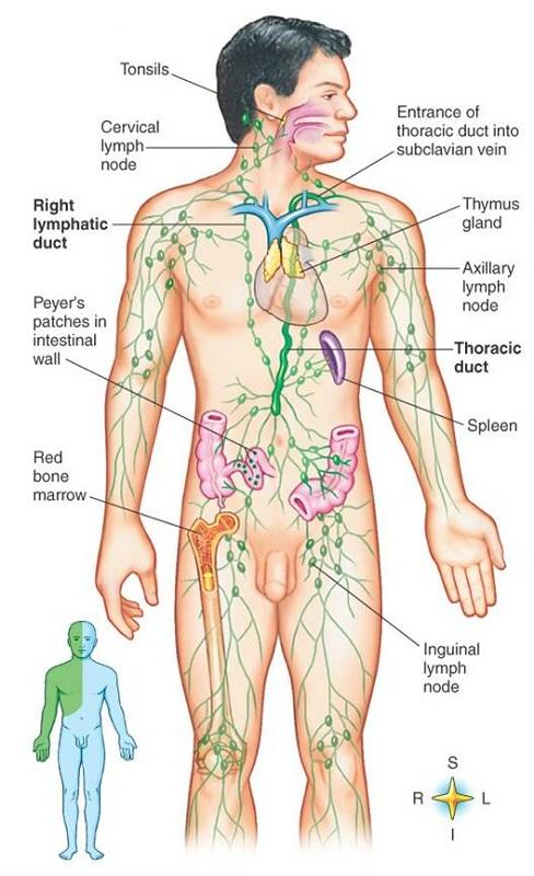 lymphatic system diagram anatomy