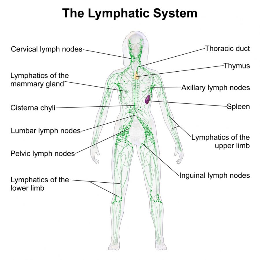 lymphatic system diagram lebeled