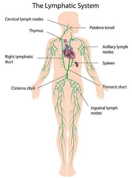 lymphatic system diagram nodes