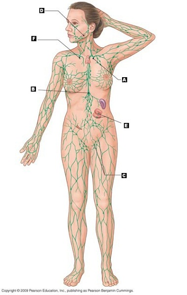 lymphatic system diagram unlabeled
