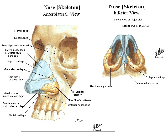 nose diagram bones
