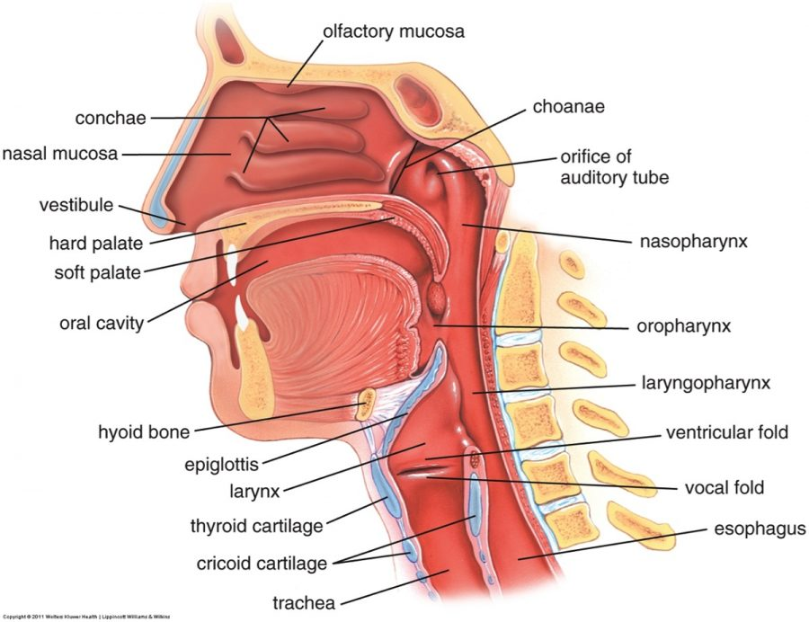 nose diagram detailed