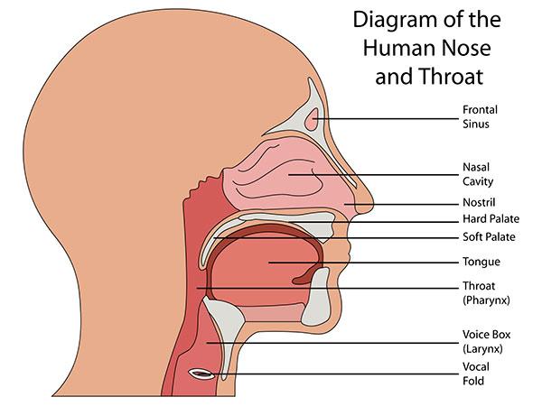 nose diagram human