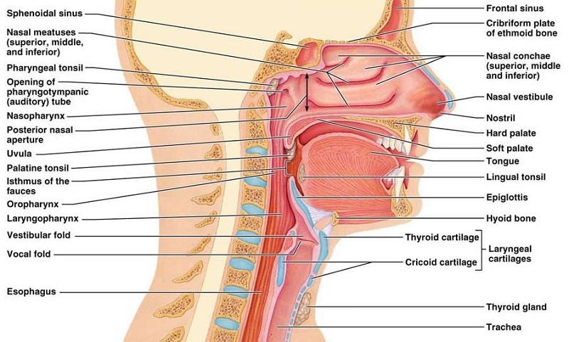 nose diagram organs