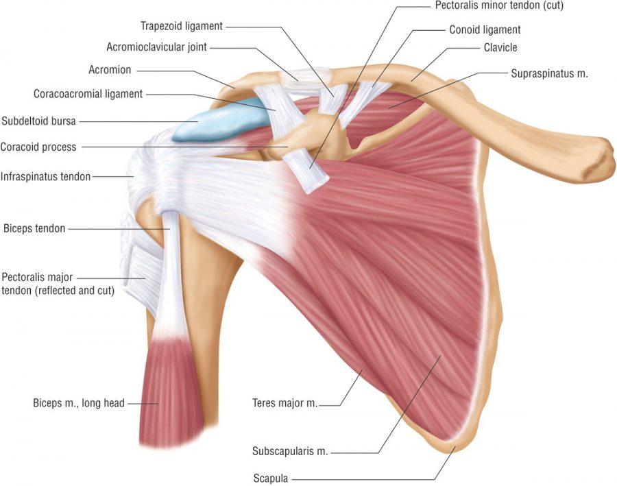 shoulder diagram muscle