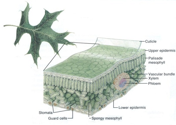diagram of a leaf side parts