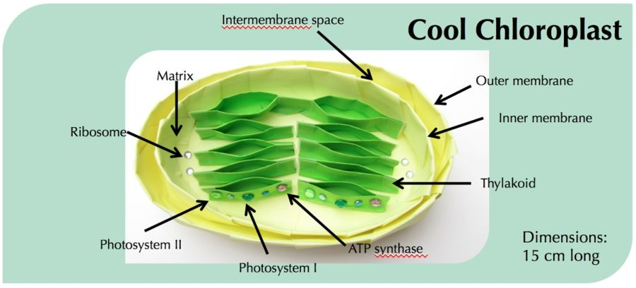 diagram of chloroplast detailed