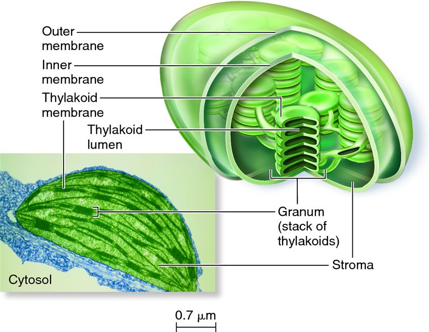 diagram of chloroplast examples