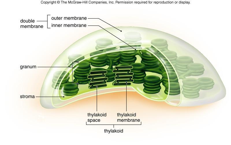 diagram of chloroplast membrane